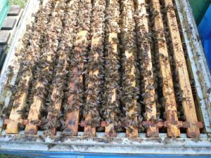 Pszczoły w górnym korpusie