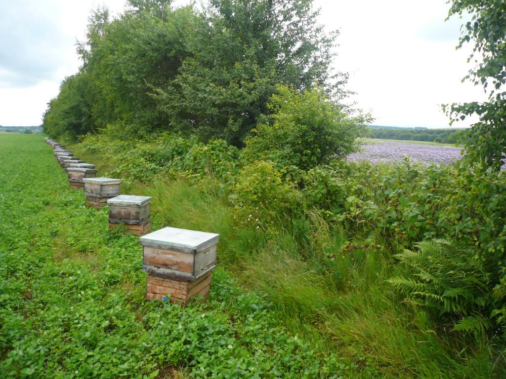 Unasiennianie matek pszczelich