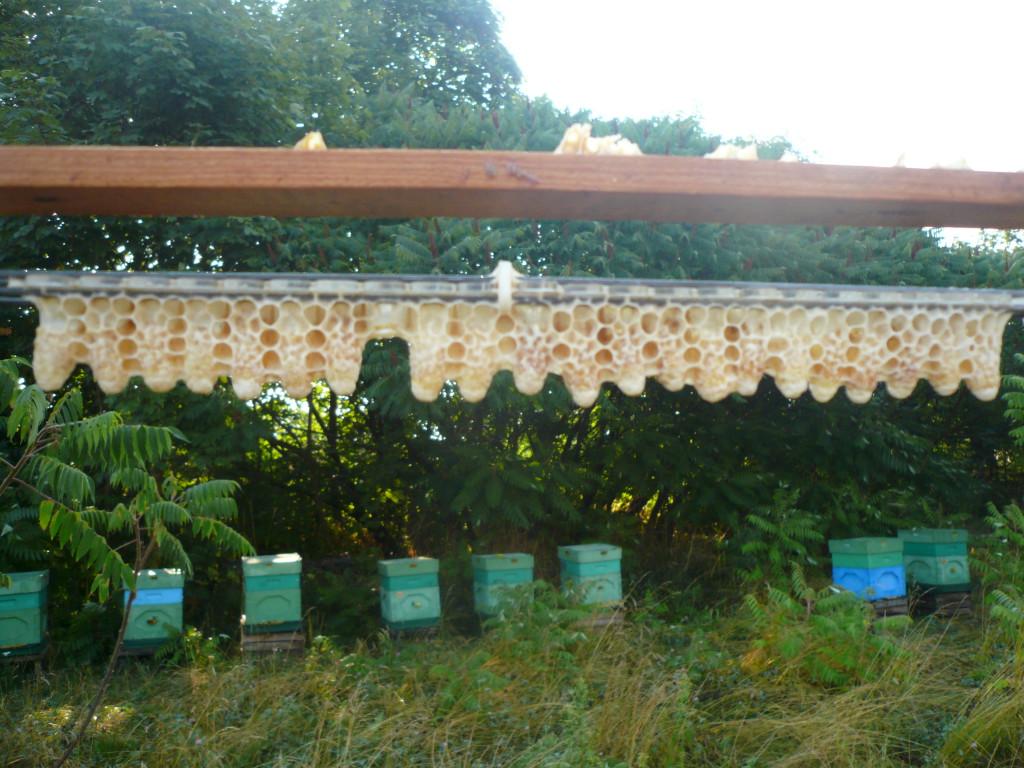 Zasklepione mateczniki z pilotażowej serii hodowlanej, po której na początku sierpnia, każdego dnia rano i wieczorem, rozpoczęliśmy hodowlę następnych linii matek pszczelich.